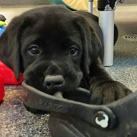 Mind Blowing Facts About Labrador Retrievers And Ideas. Amazing Facts About Labrador Retrievers And Ideas. Baby Animals Super Cute, Cute Little Animals, Cute Funny Animals, Black Lab Puppies, Cute Dogs And Puppies, Doggies, Cute Animal Pictures, Puppy Pictures, Pets