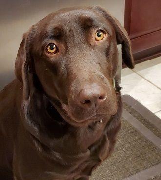 Adopt Linda 3 On Petfinder In 2020 Dogs Labrador Retriever Dog Chocolate Labrador