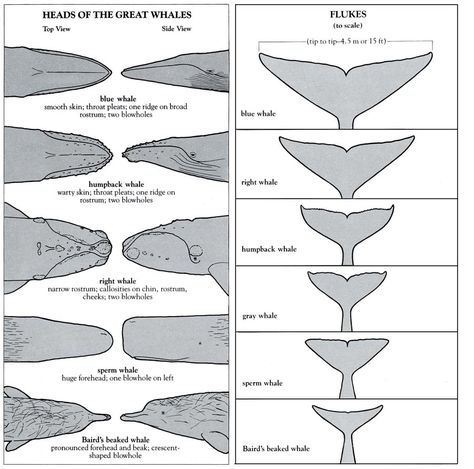 Heads and flukes of great whale Great Whale, Blue Whale Drawing, Whale Tattoos, Marine Biology, Ocean Creatures, Humpback Whale, Ocean Life, Marine Life, Animal Illustrations