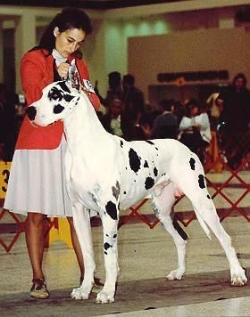 Ch Bmw Leprechaun Beautiful Dog Breeds Great Dane Breed