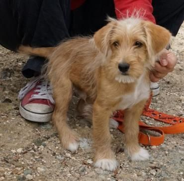 Hund Welpe Rauhhaar Terrier Mix Mischling Rude 3 5 Monate