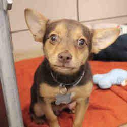 Fort Wayne Indiana Chihuahua Meet Meiko A For Adoption Https