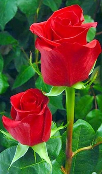 I Phone 6 Top I Phone Wallpapers What Is Flower Flower Drowsing Flower Images Hd Beautiful Ros Beautiful Rose Flowers Beautiful Flowers Beautiful Roses
