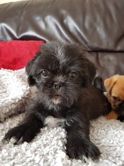 Fuzzy Pugs Pugs Puppies Pug Puppies