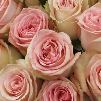 Add elegant roses to your wishlist at FiftyFlowers.com. Sweet Elegance Bicolor Rose is a vintage pink and cream rose with accents of pale green and an abundance of charm. Use alone for a sweet, classic look or mix with snapdragons, ranunculus, and soft greens for a more vintage romantic feel.