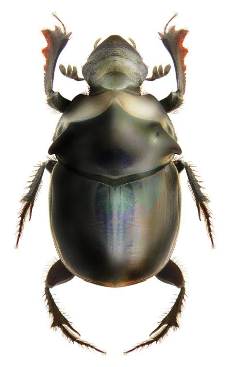 Onthophagus gagates