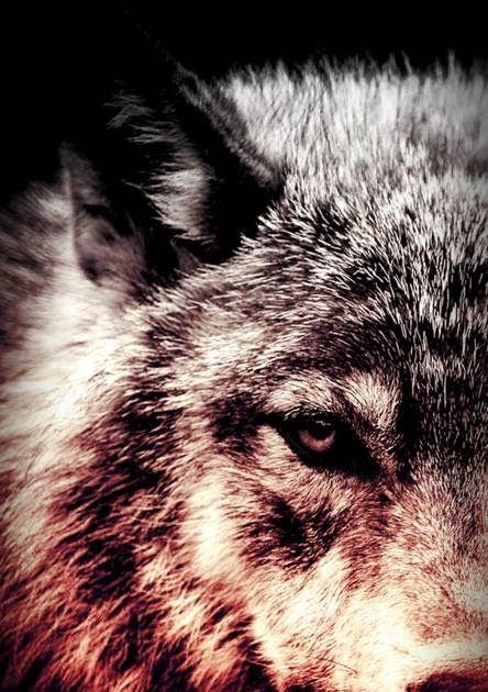13 Gambar Serigala Keren 3d Di 2020 Gambar Serigala Gambar Serigala