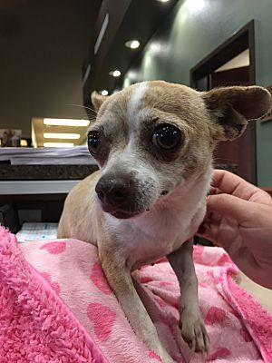 New York Ny Chihuahua Meet Lilly A Pet For Adoption Pet