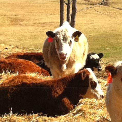 Farm life...the cows