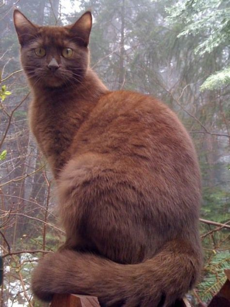 Chocolate cats are uncommon, because the gene that is associated with their lush mahogany coats is seen only in a small, select gene pool. All chocolate cats are descended directly from a single individual, a Havana Brown cat. The Havana Brown breed was created by crossing a black, blue, and color-point cats.