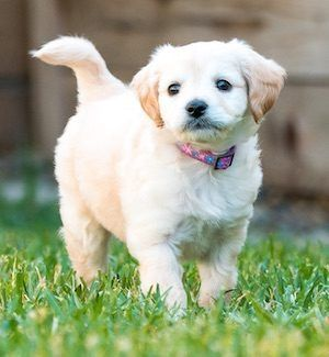 30 Best Hypoallergenic Dogs For People With Allergies All Things Dogs Best Hypoallergenic Dogs Hypoallergenic Dogs Dog Allergies