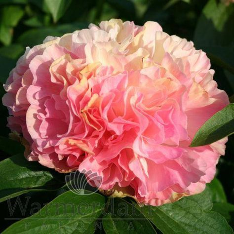 Peonies Pronunciation Peonies Peach Flowers Pretty Flowers Peonies Garden