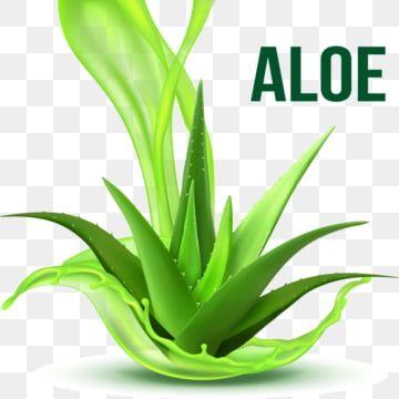 Realistic Foliage Green Plant Aloe Vera Vector Plant Clipart Realistic Foliage Png And Vector With Transparent Background For Free Download Sosudistye Rasteniya Aloe Illyustraciya Vody