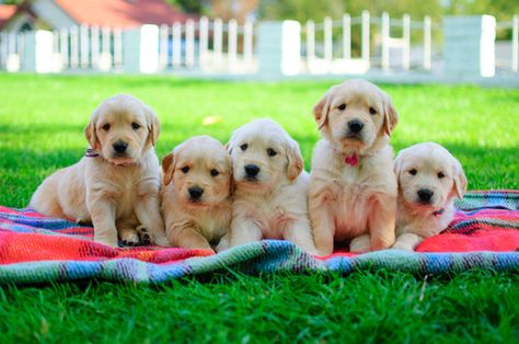 Golden Retriever Puppy For Sale In Mesa Az Adn 23906 On