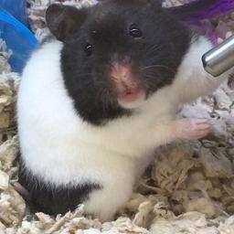 Hamster Pandahamster Petsuppliesplus Petsuppliesplusnaples Minusthehassle Pet Supplies Plus Pet Supplies Natural Pet