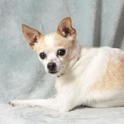 Colorado Springs Co Chihuahua Meet Locket A Pet For Adoption Chihuahua Chihuahua Love Pet Adoption
