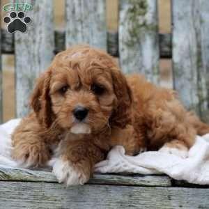 Cavapoo Puppies For Sale Cavapoo Dog Breed Info Greenfield Puppies Cavapoo Puppies Havapoo Puppies Cavapoo Puppies For Sale