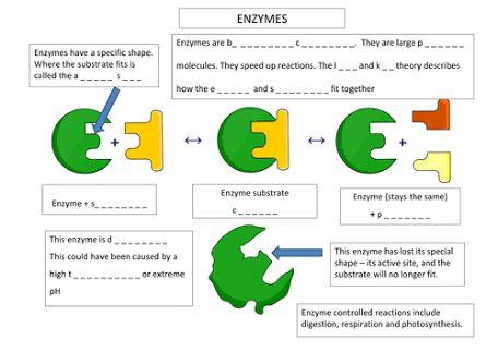 Image result for enzyme worksheet | Biologie | Biology, Worksheets a ...