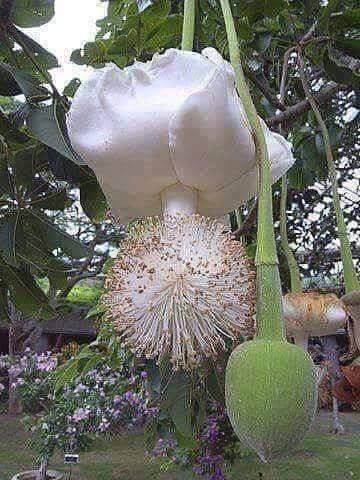 Fiori 50 Anniversario.Il Fiore Del Baobab Che Fiorisce Una Volta Ogni 50 Anni Fiori