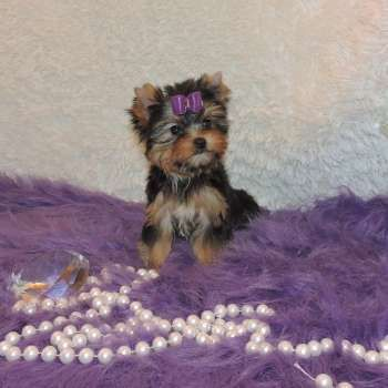 Yorkshire Terrier Puppy Yorkshire Terrier Puppies Yorkshire