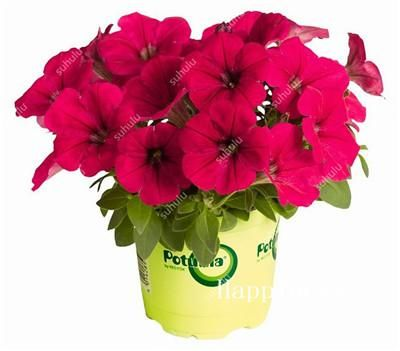 Wholesale 100 Pcs Rare Color Hanging Star Petunia Flower Bonsai