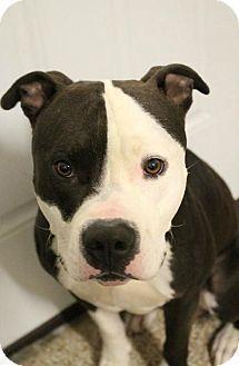 Pin On Pitbull Terrier Puppies