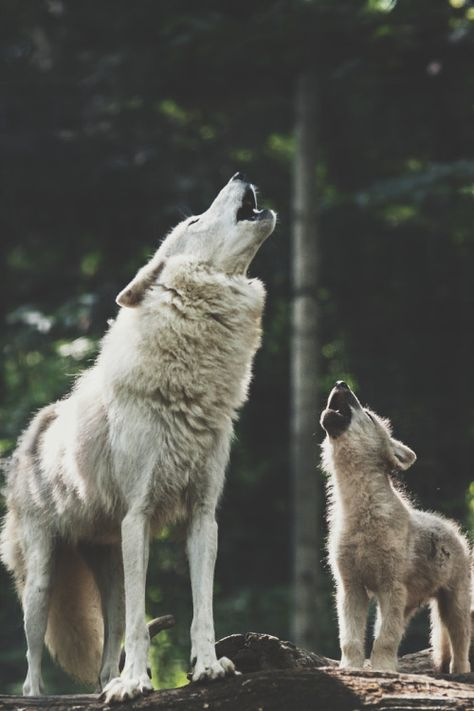 Tattoo Wolf Howling Baby Wolves Ideas For 2019 Tattoo Wolf Howling Baby Wolves Ideas For can find Wolf howling an. Wolf Love, Arktischer Wolf, Wolf Pup, Wolf Howling, Lone Wolf, Wolf Spirit, My Spirit Animal, Beautiful Wolves, Animals Beautiful