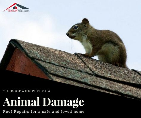 It Would Be Advisable To Look Out For Scratching Noises In The Attic And Animal Tracks Or Droppings These Are Sure Signs That Ani Roof Damage Roof Repair Roof
