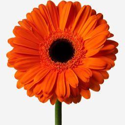 45 Luxury Orange Gerbera Daisies Atomic Tangerine Flower Delivery Flowerbx Flower Delivery Gerbera Wedding Table Flowers