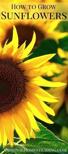 Learn How To Grow Sunflowers From Seed Discover How To Plant Grow And Harvest Sunflowers Today Sunfl In 2020 Growing Sunflowers Planting Sunflowers Sunflower Garden