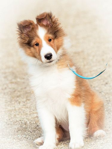 Sheltie Pose Puppy Sheltie Puppy Sheltie Cute Animal Pictures