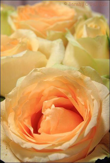 Peach Avalanche. My favorite color rose.