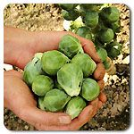 Organic Nautic F1 Hybrid Brussels Sprouts