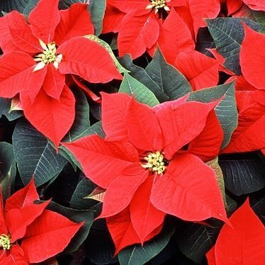 Flores De Pascua Christmas Flowers Are Traditionally Given Away To Friends And Family As A Special Gift During Christma Poinsettia Plant Poinsettia Euphorbia