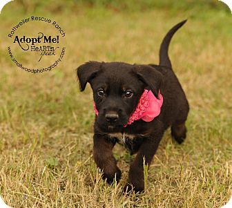 Chocolate Lab Rottweiler Mix Rottweiler Labrador Retriever Mix Puppy For Adoption In Marlborough Rottweiler Mix Puppy Adoption Pets
