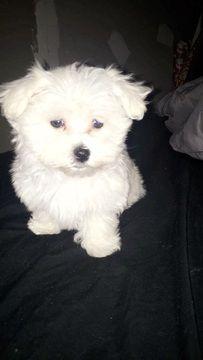 Maltese Puppy For Sale In Lexington Ky Adn 50624 On Puppyfinder