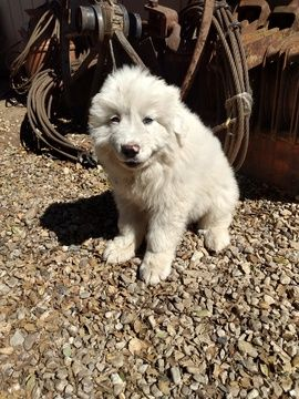 Great Pyrenees Puppy For Sale In Lompoc Ca Adn 72007 On