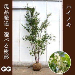 ハイノキ 株立ち 2 0 2 4m程度 根鉢含まず シンボルツリーに最適な常緑樹 現品発送 ハイノキ シンボルツリー 常緑樹
