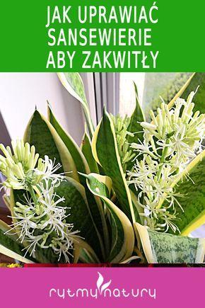 Czy Wiesz Ze Sansewieria Kwitnie Ale Trzeba Ja Do Tego Odpowiednio Pobudzic Sprawdz Jak Plants Succulents House Plants