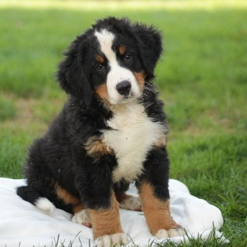 Bernese Mountain Dog Puppy For Sale In Gap Pa Usa Adn 88466 On