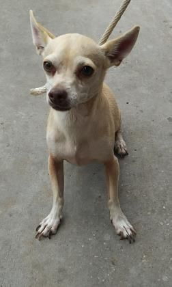 El Paso Tx Meet 39812201 I Am A Chihuahua Mix Male In Need Of