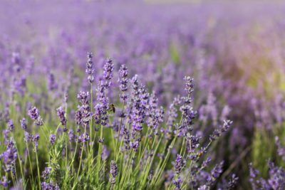 Zone 8 Lavender Plants Is Hardy To