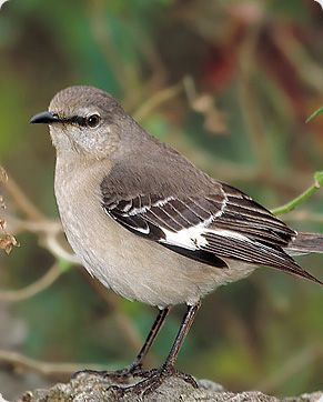 mockingbird texas state bird attitude and grit dont kill one texas animals i like pinterest texas