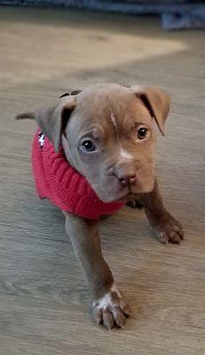 Detroit Mi Shar Pei Meet Brienne Coming Soon A Pet For