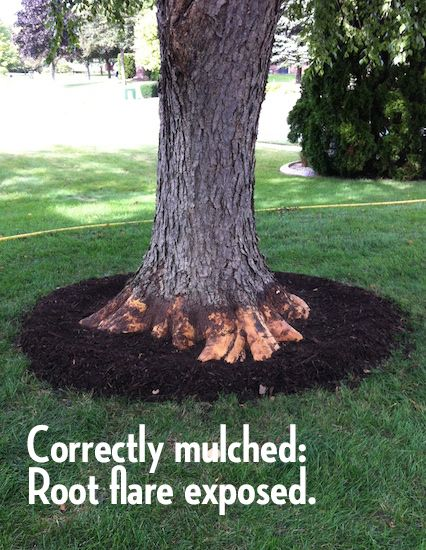 Rescuing Trees From Girdling Roots Landscaping Around Trees Mulch Landscaping Tree Mulch