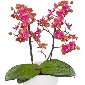 Phalaenopsis Dusty Belle Phalaenopsis Orchids Phalaenopsis Orchid