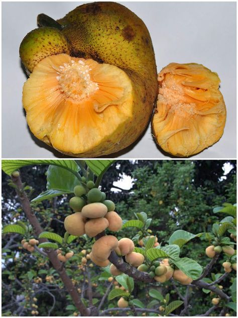 Monkey Jack (Artocarpus lacucha)