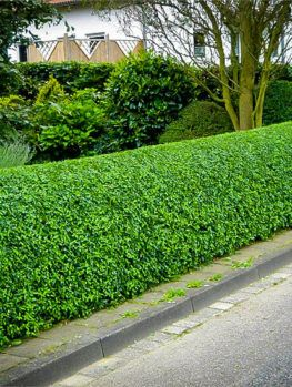 Privet Hedges The Tree Center Garden Hedges Garden Shrubs Backyard Landscaping