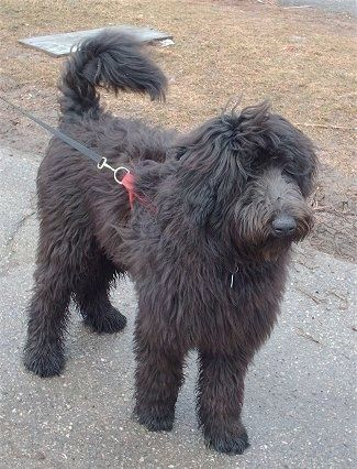 A Fluffy Long Coated Black Shepadoodle Dog Standing Across A Blacktop Surface Looking To The Right Its Hair On Its Face Is L Dogs Poodle Mix Standard Poodle