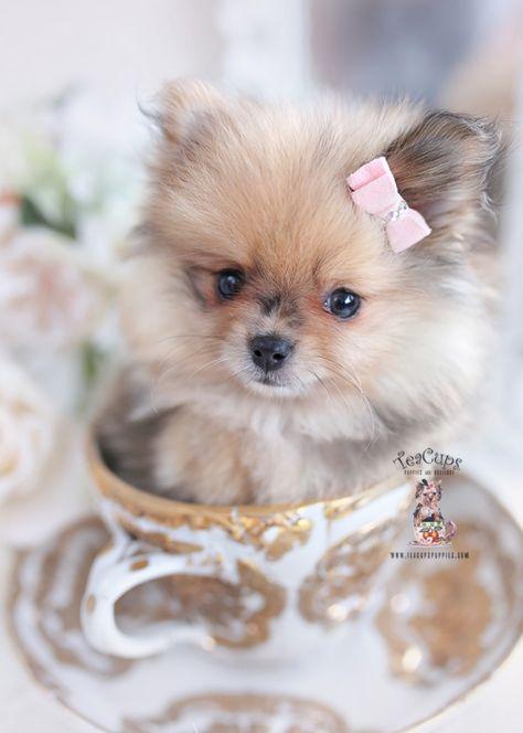 Toy Teacup Puppies For Sale  | Teacup Puppies & Boutique - Part 5